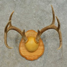 Whitetail Deer Antler Plaque Mount For Sale #16473 @ The Taxidermy Store