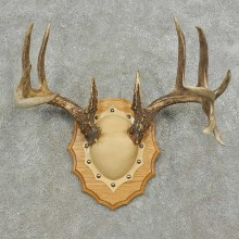 Whitetail Deer Antler Plaque Mount For Sale #16750 @ The Taxidermy Store