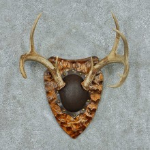 Whitetail Deer Antler Plaque Mount #13773 For Sale @ The Taxidermy Store