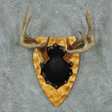 Whitetail Deer Antler Plaque Mount #13776 For Sale @ The Taxidermy Store