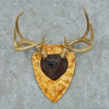 Whitetail Deer Antler Plaque Mount #13778 For Sale @ The Taxidermy Store