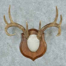 Whitetail Deer Antler Plaque Mount #13784 For Sale @ The Taxidermy Store