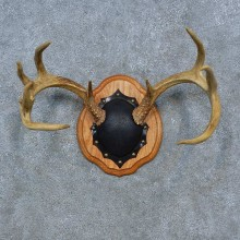 Whitetail Deer Antler Plaque Mount For Sale #15277 @ The Taxidermy Store