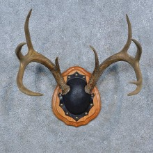 Whitetail Deer Antler Plaque Mount For Sale #15278 @ The Taxidermy Store