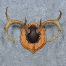 Whitetail Deer Antler Plaque Mount For Sale #15279 @ The Taxidermy Store