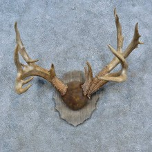Whitetail Deer Antler Plaque Mount For Sale #15302 @ The Taxidermy Store