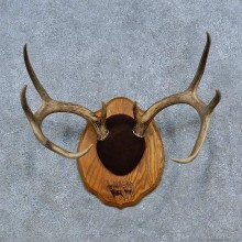Whitetail Deer Antler Plaque Mount For Sale #15318 @ The Taxidermy Store