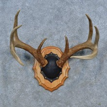 Whitetail Deer Antler Plaque Mount For Sale #15337 @ The Taxidermy Store
