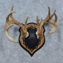 Whitetail Deer Antler Plaque Mount For Sale #15338 @ The Taxidermy Store