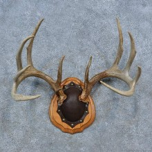 Whitetail Deer Antler Plaque Mount For Sale #15340 @ The Taxidermy Store