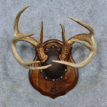 Whitetail Deer Antler Plaque Mount For Sale #15343 @ The Taxidermy Store