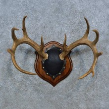 Whitetail Deer Antler Plaque Mount For Sale #15346 @ The Taxidermy Store