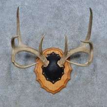 Whitetail Deer Antler Plaque Mount For Sale #15347 @ The Taxidermy Store