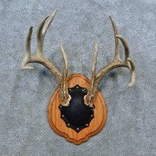 Whitetail Deer Antler Plaque Mount For Sale #15363 @ The Taxidermy Store