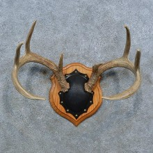 Whitetail Deer Antler Plaque Mount For Sale #15397 @ The Taxidermy Store