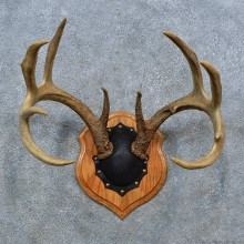 Whitetail Deer Antler Plaque Mount For Sale #15398 @ The Taxidermy Store