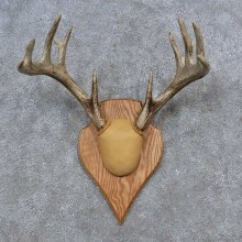Whitetail Deer Antler Plaque Mount For Sale #15649 @ The Taxidermy Store