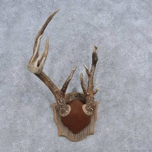Whitetail Deer Antler Plaque Mount For Sale #15652 @ The Taxidermy Store
