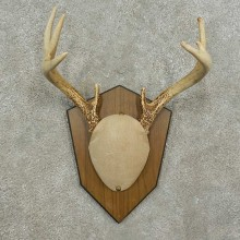 Whitetail Deer Antler Plaque Mount For Sale #16889 @ The Taxidermy Store