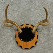 Whitetail Deer Antler Plaque For Sale #16926 @ The Taxidermy Store