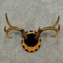 Whitetail Deer Antler Plaque For Sale #16928 @ The Taxidermy Store