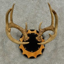 Whitetail Deer Antler Plaque For Sale #16929 @ The Taxidermy Store