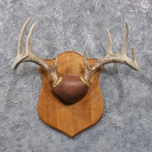 Whitetail Deer Antler Plaque #11806 For Sale @ The Taxidermy Store