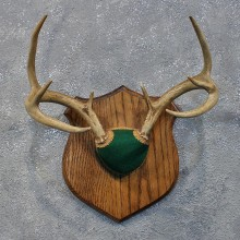 Whitetail Deer Antler Plaque #12169 For Sale @ The Taxidermy Store