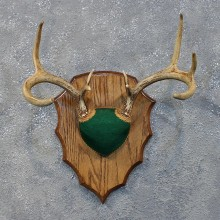 Whitetail Deer Antler Plaque #12170 For Sale @ The Taxidermy Store