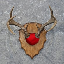 Whitetail Deer Antler Plaque #12171 For Sale @ The Taxidermy Store