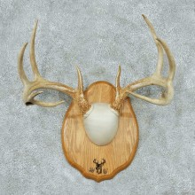 Whitetail-Deer-Antlers-Plaque-Taxidermy-Mount #13337 For Sale @ The Taxidermy Store