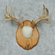 Whitetail-Deer-Antlers-Plaque-Taxidermy-Mount #13338 For Sale @ The Taxidermy Store
