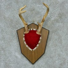 Whitetail Deer Antlers Plaque Taxidermy Mount #13341 For Sale @ The Taxidermy Store