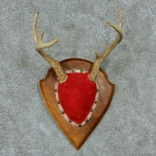 Whitetail Deer Antlers Plaque Taxidermy Mount #13342 For Sale @ The Taxidermy Store