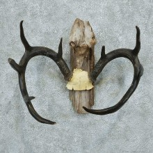 Whitetail Deer Antlers Taxidermy Mount #13355 For Sale @ The Taxidermy Store