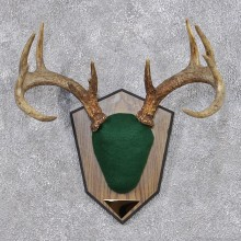Whitetail Deer Taxidermy Antler Plaque Mount #12425 For Sale @ The Taxidermy Store