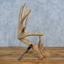Whitetail Deer Antler Shed For Sale #15444 @ The Taxidermy Store
