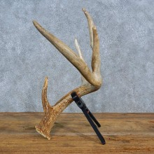 Whitetail Deer Antler Shed For Sale #15447 @ The Taxidermy Store