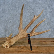 Whitetail Deer Antler Shed For Sale #15450 @ The Taxidermy Store