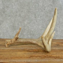 Whitetail Deer Antler Shed For Sale #16147 @ The Taxidermy Store