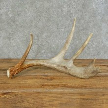 Whitetail Deer Antler Shed For Sale #16149 @ The Taxidermy Store