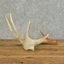 Whitetail Deer Antler Shed For Sale #16150 @ The Taxidermy Store