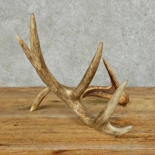 Whitetail Deer Antler Shed For Sale #16153 @ The Taxidermy Store