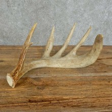 Whitetail Deer Antler Shed For Sale #16159 @ The Taxidermy Store