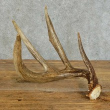 Whitetail Deer Antler Shed For Sale #16161 @ The Taxidermy Store
