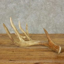 Whitetail Deer Antler Shed For Sale #16203 @ The Taxidermy Store