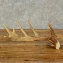 Whitetail Deer Antler Shed For Sale #16204 @ The Taxidermy Store