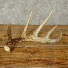 Whitetail Deer Antler Shed For Sale #16210 @ The Taxidermy Store