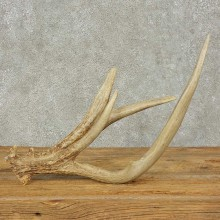 Whitetail Deer Antler Shed For Sale #16235 @ The Taxidermy Store