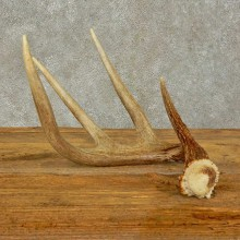 Whitetail Deer Antler Shed For Sale #16431 @ The Taxidermy Store
